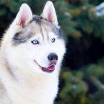 Лікування піометри у собак без операції