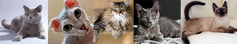Коты породы Инновет