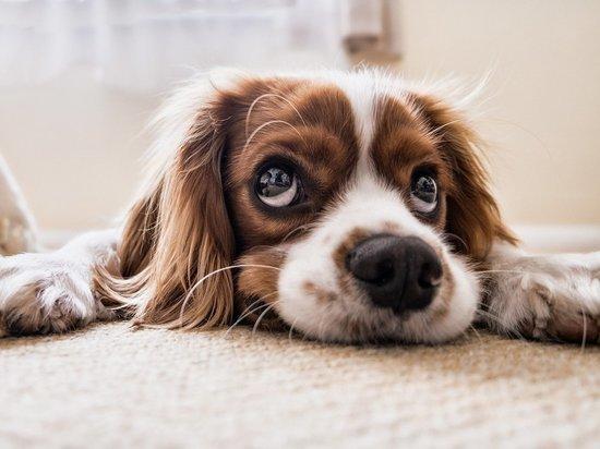 особенности заболевания коронавирусом собак